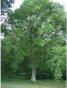 El Árbol y el Bosque: significados y  símbolos dentro del mundo indoeuropeo